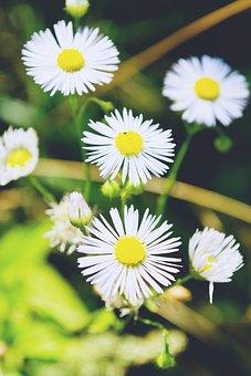 Nature, Daisies, Daisy, Flowers, Olsztyn, Summer