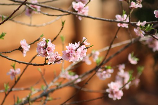 Flowers, Spring, Pink, Nature