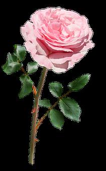 Rose, Pink, Stem, Flower