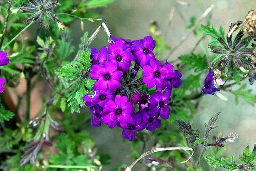 Flower, Purple, Garden, Purple Flower, Nature, Floral