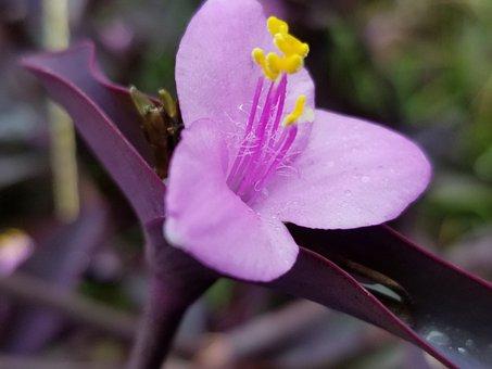 Purple Heart Plant, Wandering Jew, Flower, Plant