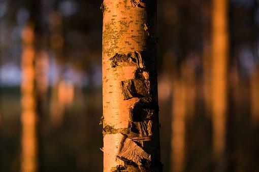 Nature, Birch, Close Up, Forest, Golden, Hour, Sunset