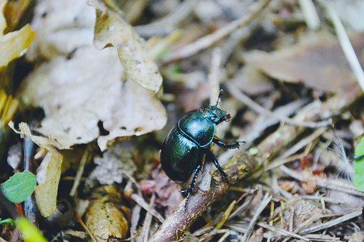 Nature, Beetle, Bug, Forest, Olsztyn, Summer, Warmia