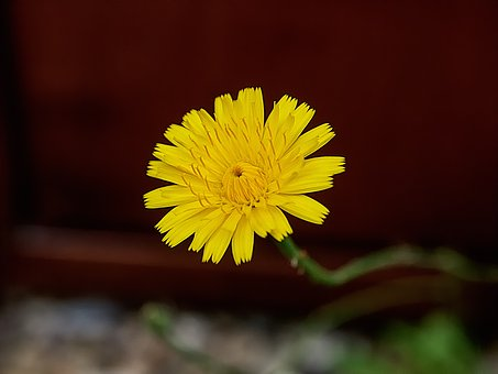 Dandelion, Weeds, Yellow, Close Up, Yellow Flower