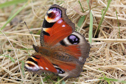 Peacock, Butterfly, Insect, Summer, Eye, Macro, Wild
