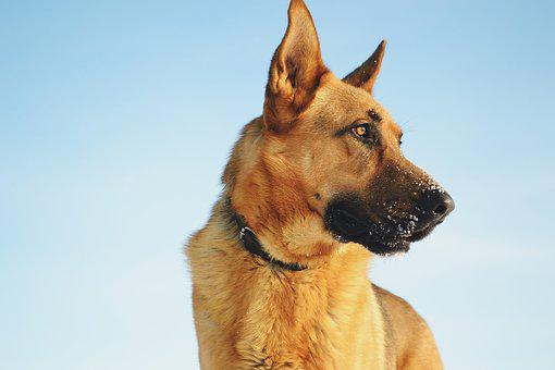 Animals, Dog, German, Masuria, Shepherd, Snow, Winter
