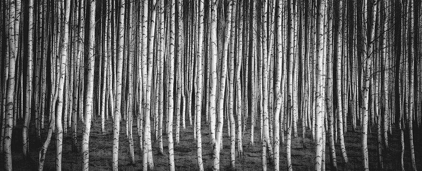 Birch, Brezový Grove, Nature, Russia, White