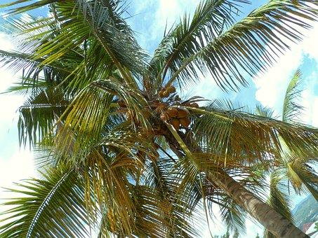Bujumbura, Burundi, Palm Tree, Palm Nuts, Tropical