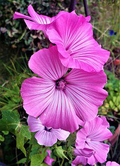 Flower, Garden, Flora, Flowers, Summer, Plant, Malva