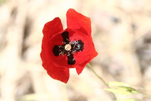 Flower, Red, Snowdrop, Papaver Rhoeas, Nature, Plant