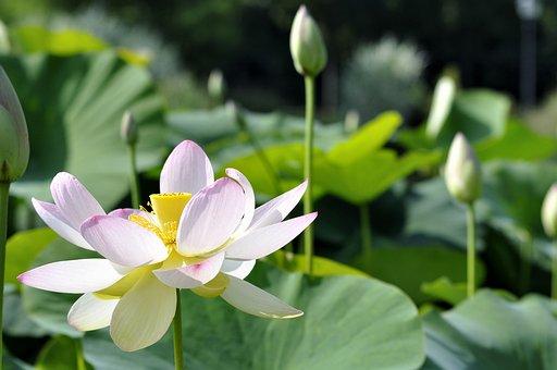Flowers, Water, Lotus