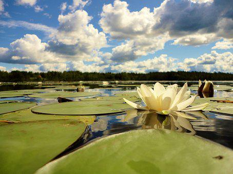 Water Lily, Lake, Summer, Sweden, Holiday, Lily Pad