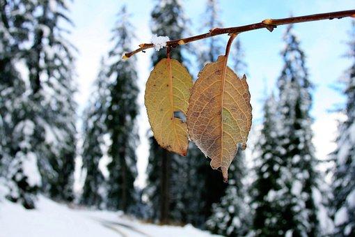 Winter, Snow, Nature, Mountains, Pine