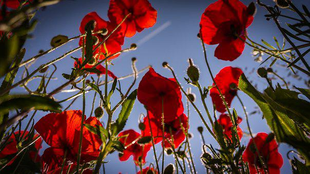 Flowers, Poppies, Red, Blossom, Bloom, Field
