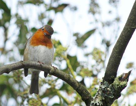 Christmas, Robin, Bird, Tree, Holiday, Animal, Cute