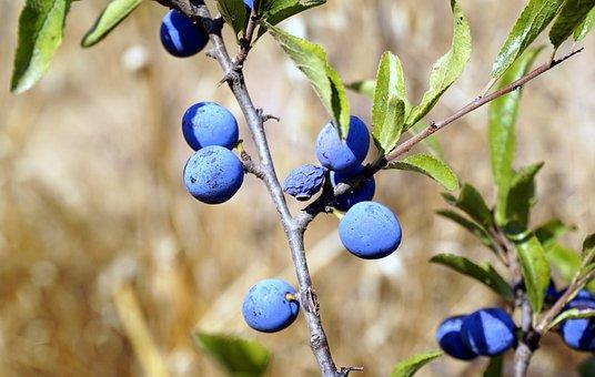 Berries, Blue, Vegetation, Bluish, Blueberry, Spring