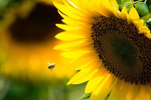 Sunflower, Bee, Yellow, Flower, Nature, Sunny, Honeybee