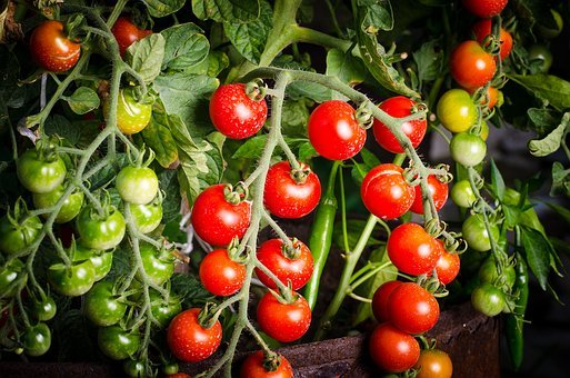 Tomato, Green, Vegetable, Organic, Red, Plant, Tomatoes
