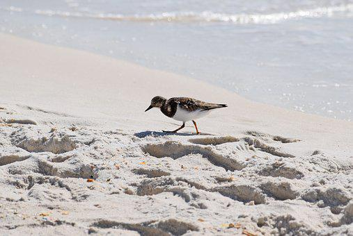 Ruddy Turnstone, Shore Bird, Winter Plumage, Animal