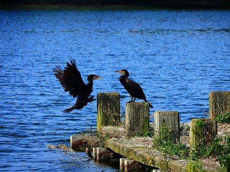 Cormorant, Ansitz, Approach, ümminger Lake, Bochum, Two