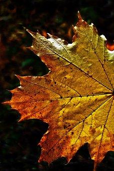 Leaf, Autumn Leaf, Fall Color, Maple, Maple Leaf