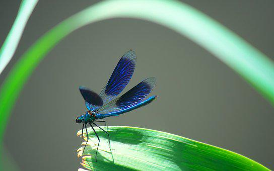 Nature, Insects, Dragonfly, Wings, Macro, Blue