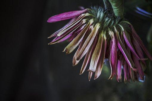 Clematis, Blossom, Bloom, Fade, Violet, Purple, Flower