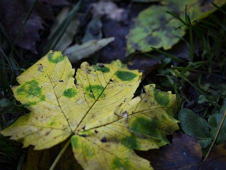 Autumn Leaf, Leaf, Yellow Leaf, Close-up