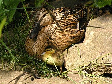 Chicks, Duck, Ducky, Water Bird, Waterfowl, Cute
