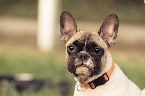French Bulldog, Dog, Eyes, Animal, Collar, Model, View