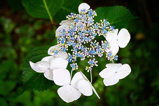 Hydrangea, Flower, Summer, Plant, Garden, Floral, White