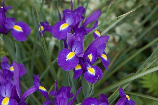 Flower, Flowers Purple, Purple Iris, Flowering, Garden