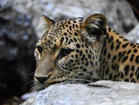 Leopard, Stone, Zoo, Mammal, Cat, Noble, Fur
