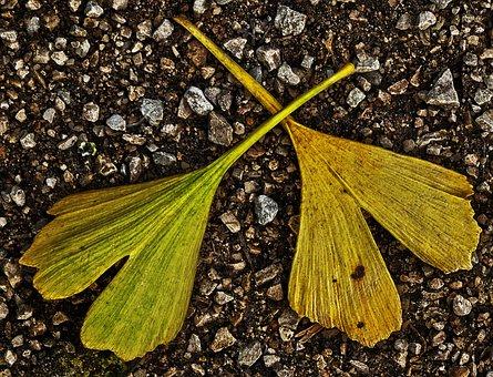 Leaf, Gingko Leaf, Gravel Road, Fall Color, Gingko
