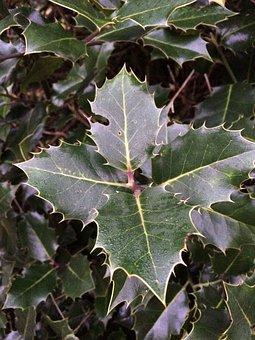 Holly, Leaves, Christmas, Winter, Leaf, Nature, Sprig