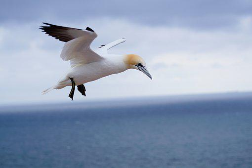 Northern Gannet, On The Island Of Helgoland, In May