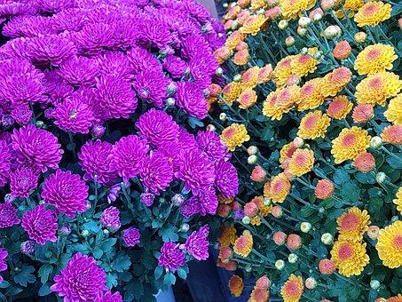Autumn, Becoming, Kogiku, Pink, Fall Flowers, Nature