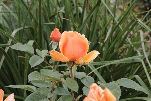 Flower, Pink, Orange Blossom, Rose Bud, Rosebush