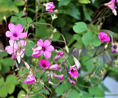 Lyckoklöver, Clover, Flower, Potted Plant, Flowers