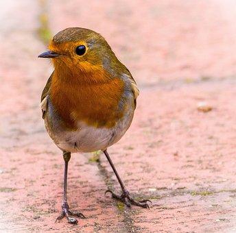 Robin, Redbreast, Bird, Nature, Wildlife, Feather, Beak