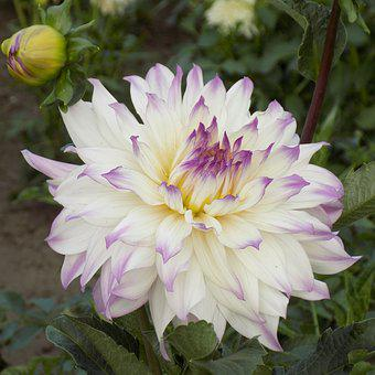Dahlia, Flower, Botanical Garden, Summer Flowers
