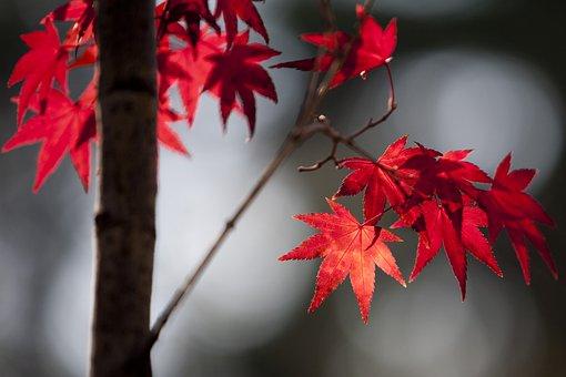 Maple Leaf, Autumn Leaves, Autumn, Leaf, The Leaves