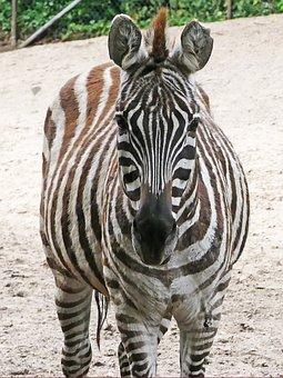 Zebra, Zoo, Black And White, Nature