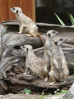 Animals, Meerkat, Nature, Mammal, Wild Animal, Zoo