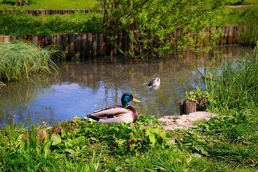 Ducks, Animals, Birds, Grass, Green, Pond, Sit, Sitting