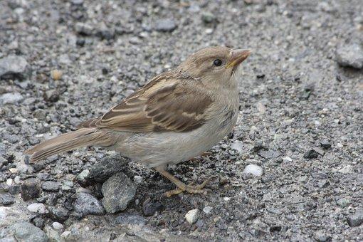 Alpenmus, Birds, Austria