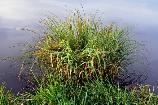 Bank, Reed, Nature, Grasses, Water, Lake, Landscape