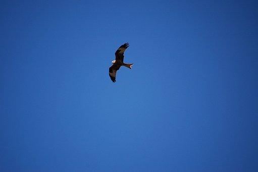Red Kite, Kite, Bird Of Prey, Bird, Sky, Flying