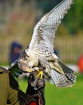Falcon, Raptor, Bird Of Prey, Falkner, Raptors, Bird