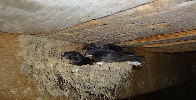 Swallows, Nest, In The Nest, Wildlife, Wild, Bird